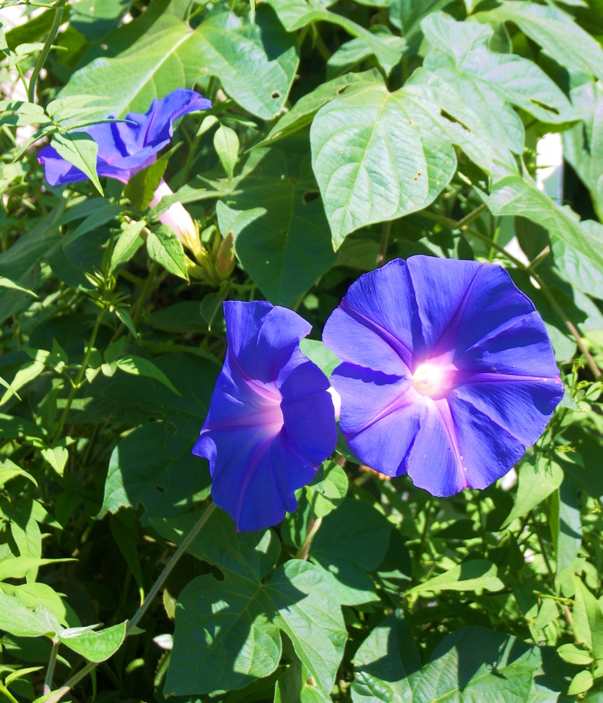 This image has an empty alt attribute; its file name is morningglories7-29-2021.jpg